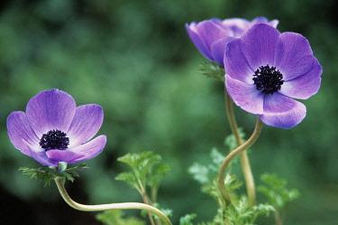 Anemone, Anemone coronaria 'De Caen', Three purple coloured Flowers growing outdoor.
