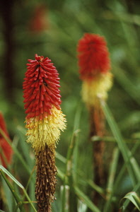 Red hot poker, Kniphofia, Two red and yellow coloured flowers growing outdoor.