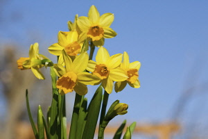 Daffodil, Narcissus, Yelllow flowers growing outdoor against a blue sky.