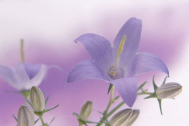Campanula, Bellflower, Campanula latifolia, Close up studio shot of mauve coloured flower showing stamen.