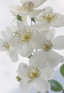 Rose, Rosa, Rosa 'Wedding day', Close up studio shot of white flowers showing stamen.