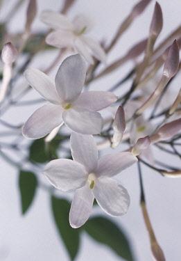 Jasmine, Jasminum officinale, Close up studio shot of white coloured flower.