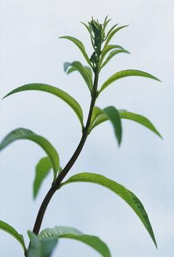 Lemon verbena, Aloysia triphylla, Close up side view of foliage.