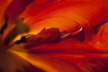 Tulip, Tulipa, Close up studio shot of red coloured flower.