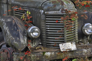 Old truck with blackberry vines in autumn colour, Oregon, USA.