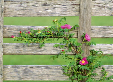 Rose, Wild rose, Rosa nukana, and old fence, Oregon, USA.