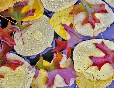 Oak, Autumnal colours of Aspen and Oak leaves in pond near Alpine, Oregon, USA.