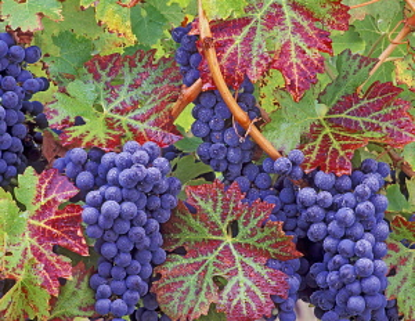 Grape, Vitus vinifera, Close up of Cabrenet Sauvignon grapes and vine leaves with dew.