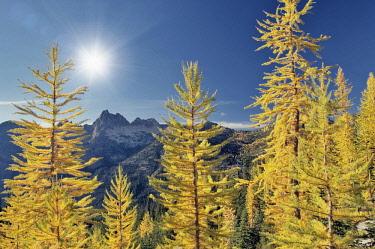 Tamarack or larch in autumnal color,  North Cascades National Park, Washington, USA.