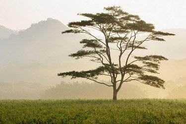 Lone tree in morning fog, Kauai, Hawaii, USA.