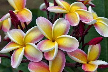 Plumaria or Frangipani bloom with rain drops,  Kauai, Hawaii, USA.
