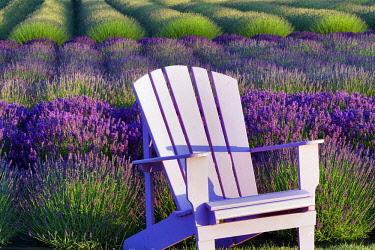 Lavender, Lavandula, Chair in field of purple flowers.