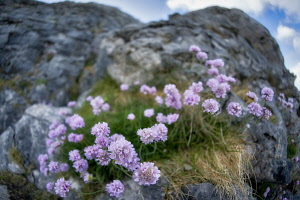 Sea Thrift or Sea Pink growing in the Burren, County Clare, Ireland.