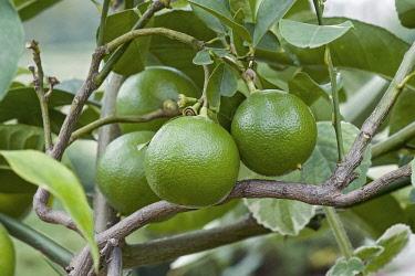 Bergamot, Citrus bergamia, Hybrid of Citrus limetta and Citrus aurantium growing outdoor.