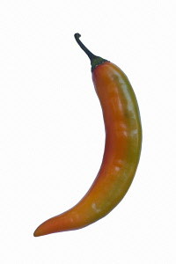 Chilli, Korean hot pepper, Capsicum annuum, Studio shot of single red and green coloured chilli.