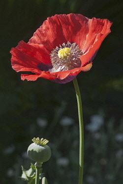 Poppy, Opium poppy, Papaver somniferum, Single red coloured flower growing outdoor.