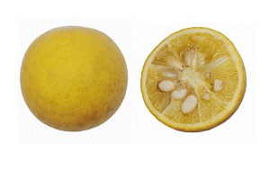 Japanese Bitter Orange, Trifoliata citrus, Studio shot of single dissected fruit showing seed inside.