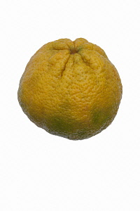 Tangelo, Ugli Fruit, Citrus reticulata x Citrus paradisi, Studio shot of single yellow coloured fruit.