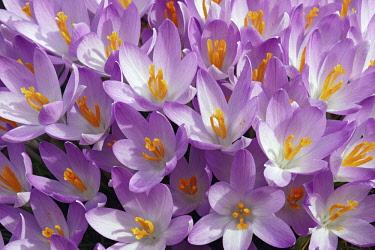 Crocus, Early crocus, Crocus tomassinianus, Mass of purple coloured flowers growing outdoor.