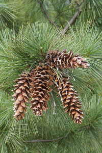 Ayacahuite pine, Pinus ayacahuite, Group of brown coloured cone growing outdoor on the the tree.