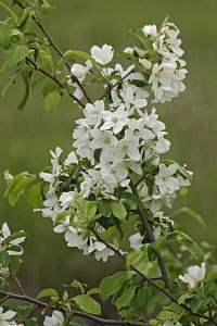 Crab apple, Siberian crab apple, Malus mandshurica, Small white flower blossoms growing outdoor on the tree.