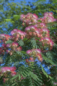 Silk tree, Albizia julibrissin var rosea, Pink flowers growing outdoor.