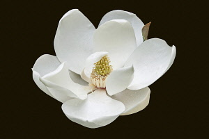 Magnolia, Magnolia grandiflora, Single white flower cut out with black background.