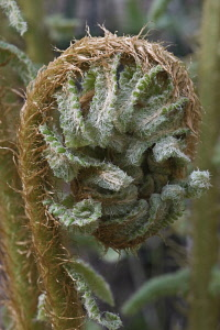 Thick stemmed wood fern, Dryopteris crassirhizoma, Close up detail of the frond unfurling.