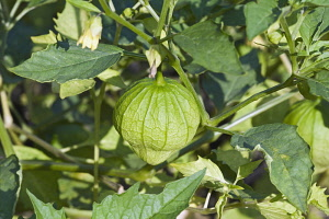 Tomatillo, Physalis philadelphica, Green fruit growing outdoor on the plant.