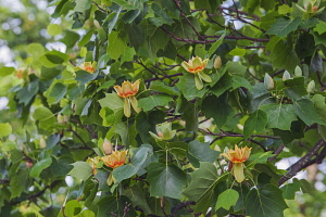 Tulip tree, Liriodendron tulipifera, Yellow and peach coloured flowers growing outdoor.