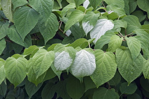 Actinidia, Variegated kiwi vine, Actinidia kolomikta, Close up of leaves.