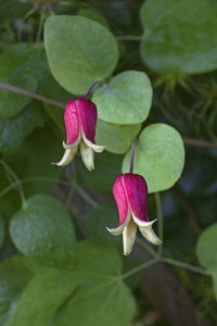 Whiteleaf Leather flower, Clematis glaucophylla, Pink coloured flowers growing outdoor.