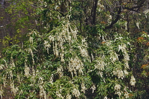 Pieris, Japanese andromeda, Pieris japonica, Detail of plant with white coloured flowers growing outdoor.