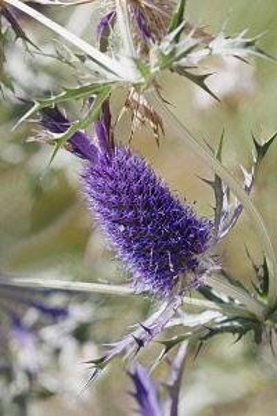 Sea Holly, Leavenworth's eryngo, Eryngium leavenworthii, Detail of purple coloured flower growing outdoor.