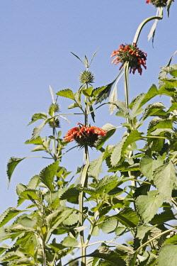 Wild dagga, Lion's tail, Leonotis leonurus, Detail of plant with orange coloured flowers growing outdoor.