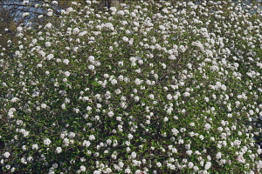 Viburnum, Mohawk viburnum, Viburnum x Burkwoodii Mohawk, Mass of tiny white flowers growing outdoor.