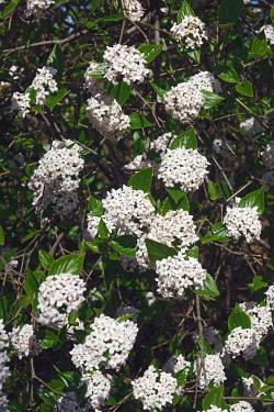 Viburnum, Mohawk viburnum, Viburnum x Burkwoodii Mohawk, Detail of tiny white flowers growing outdoor.
