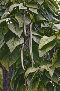 Bois chavanon, Northern catalpa, Catalpa speciosa, Detail of seedpods growing outdoor on the tree.