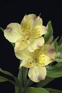 Astroemeria, Peruvian lily, Peruvian lily, Detail of yellow coloured flowers growing outdoor.