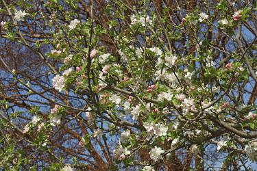 Roxbury russet apple, Malus x Roxbury Russet, White blossoms growing on the tree outdoor.