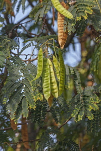 Silk tree, Albizia julibrissin, Detail of seedpods growing outdoor on the plant.