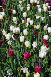 Tulip, Tulipa x gesneriana, also known as Didier's Tulip and Garden Tulip, Mass of multi coloured flowers growing outdoor.