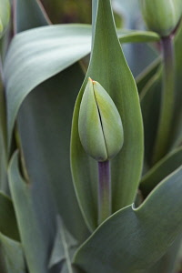 Tulip, Tulipa x gesneriana, also known as Didier's Tulip and Garden Tulip, Close up of green coloured flower bud growing outdoor.