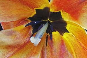 Tulip, Tulipa x gesneriana, also known as Didier's Tulip and Garden Tulip, Close up of peach coloured flower showing stamen.