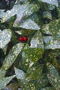 Variegated Japanese laurel, Variegated gold dust plant, Aucuba japonica Variegata, Detail of green a white coloured leaves and two red berries growing outdoor.