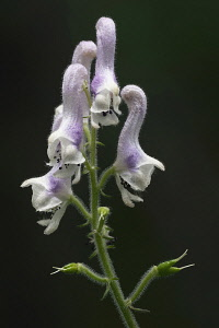 Monkshood, White monkshood, Aconitum alboviolaceum, Close up of mauve coloured flower growing outdoor.