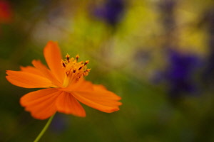 Cosmos, Side view of orange coloured flower growing outdoor.