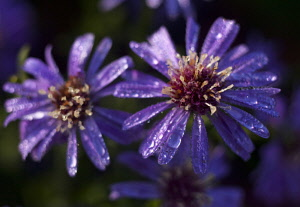 Aster, Close up view of purple coloured flowers with water droplets, growing outdoor.