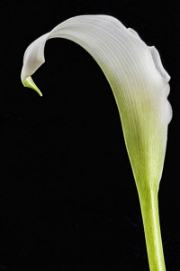 Lily, Calla Lily, Zantedeschia, Studio image of white flower with green stem and leaf.