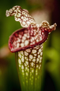 Pitcher, Nepenthes, Carniverous pitcher plant close-up.